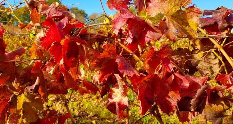 vignes à l'automne avec les feuilles rouges
