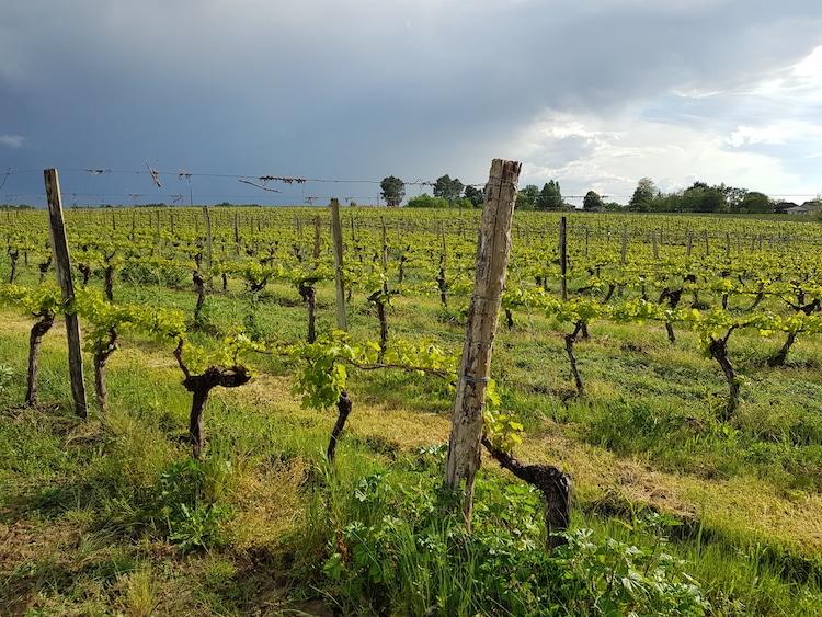 vignes au printemps dans les côtes de Gascogne